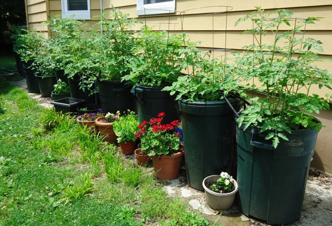 growing tomatoes in containers part   gardening support  news, Natural flower